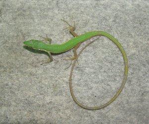 アオカナヘビ♀(体色変異型) 004.jpg